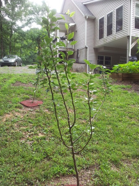 Pear trees we planted last fall